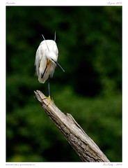 Aigrette garzette  | Egretta garzetta | Little egret (BerColly) Tags: france auvergne puydedome oiseau bird nature aigrettegarzette littleegret arbre tree bokeh bercolly google flickr