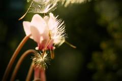 Sbocciare nel primo giorno d'autunno (annamariagiacomini) Tags: macro ciclamino soffione gocce autunno