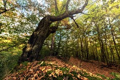 Dry leaves and tree trunk in the forest (tomaskriz1) Tags: stone forest sky color autumn roots sunlight stick branch yellow leaves moss trunk trees tree czechia moravian season scenic scenery rural plant outdoor nature magical landscape land idyllic green environment day countryside country beauty beautiful background