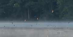 Swifts in the Mist (Bonnie Ott) Tags: chimneyswift lake water mist morning explore explored