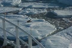Harp seal 8 (Elvar H) Tags: arcticocean harpseal helmerhansen phocagroenlandica siarctic grnlandssel sealsampling vuselur