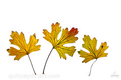 Fall Leaves (Quincey Deters) Tags: 1855mm 2016 alberta allrightsreserved autumn canada colourimage copyspace d300 dry fall fallcolours flora foliage gold leaf leaves nature northamerica orange red three whitebackground yellow quinceydeters