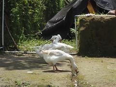 P9270055 (tonkonogov) Tags: indonesia bali ubud