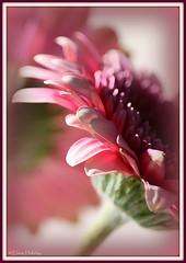 gerbera (loobyloo55) Tags: pink flower canon flora gerbera floraandfauna