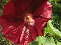 Hollyhock Flower (abrideu) Tags: flowers red macro canon ngc hollyhock thegalaxy abrideu fleursetpaysages