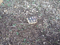Monte Altura (Maci (VP)) Tags: sardegna sardinia little turtle young tiny sardinie montealtura