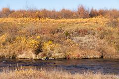 autumn colors (Fjola Dogg) Tags: yellow iceland 2012 gulur gult 50d canon50d fjoladogg fjóladögg