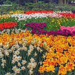 Dutch Tulips, Keukenhof Gardens, Holland - 0778 thumbnail