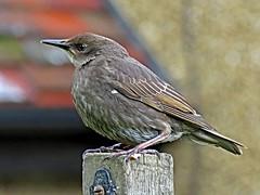 Juvenile Starling (Rob Felton) Tags: tree bird garden bedford bedfordshire starling perch felton juvenile sturnusvulgaris cardington robertfelton