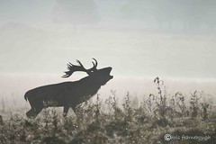 Red Deer Autumn Rut 2012 114 (chris fearnehough) Tags: morning autumn red cold rain misty sunrise early stag deer fallowdeer reddeer rut stags rutting hinds tattonpark autumnwatch ruttingseason reddeerrut reddeerinthesnow