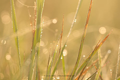Diamonds in the grass (Louise Denton) Tags: green nature grass bokeh diamond sparkle dew