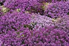 A Purple Alyssum Autumn (bigbrowneyez) Tags: flowers autumn ontario canada nature beautiful dof purple display sweet ottawa joy tiny delicate dainty delightful groundcover sweetalyssum dowslakepark flickpurple octoberblossoms apurplealyssumautumn apurplesea