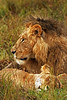 Royal Couple (Picture Taker 2) Tags: africa cats nature beautiful animal animals closeup outdoors colorful pretty native wildlife lion pride lions wilderness upclose mammals lioness bigcats masaimara wildanimals africaanimals masimarakenya animalkingdomelite anawesomeshot wowiekazowie flickrbigcats