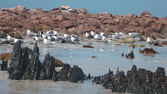 Crested Terns roost on Lipson Island in great numbers (danimations) Tags: flock terns crestedtern crestedterns lipsonisland