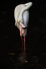 Abnormal posture (-clicking-) Tags: reflection beautiful beauty birds zoo wings funny flamingo feathers posing vietnam posture lovely abnormal colorsonblack hồnghạc bestcapturesaoi coth5 elitegalleryaoi