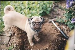 gardening (patrickbraun.net) Tags: puppy kodak gardening pug getty garten mops erde gartenarbeit ef35mmf14lusm vsco canoneos5dmk2 highqualitydogs