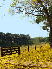 Mon Coeur Encore (osvaldoeaf) Tags: flowers blue trees brazil sky nature yellow brasil rural fence landscape spring farm cerrado wonderfulworldofflowers