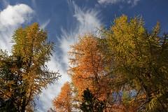 Larch trees, fall sunrise @ Graubunden, Swiss Alps. (Richard Verroen) Tags: autumn trees sky alps fall clouds sunrise switzerland swiss herfst wolken alpen lucht larch zwitserland lariks zonsopkomst zwitserse verroen richardverroen