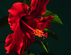 The Hibiscus Probe (Bill Gracey) Tags: lighting red flower macro green nature fleur leaves yellow shadows flor stamens textures hibiscus naturalbeauty softbox luminous studiolighting macrolens macrophotography pistils offcameraflash honlsnoot strobie130