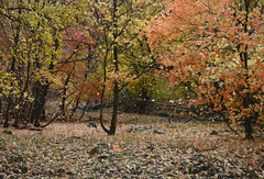 when the wind blows 2 (ctfy) Tags: autumn red green fall colors leaves yellow creek utah maple windy 2012 hobble springville