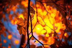 (drfugo) Tags: morning blue shadow red orange lamp silhouette leaf branch explore lampost veins bluehour explored canon5dmkii nikon55mmf12s nikkors55mmf12typeiv