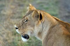 Big Cat (shashin62) Tags: africa animal cat kenya wildlife lion safari bigcat lioness meru merunationalpark