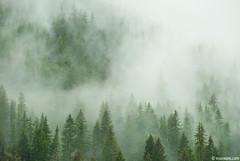 rainy days in Rhodope (.:: Maya ::.) Tags: mist pine trees woods clouds rain smolyan bulgaria rhodope mountains           green nature beauty  mayakarkalicheva mayaeye