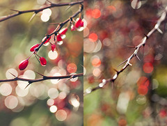 Happy Berberis Bokeh Wednesday :-) (~ Maria ~) Tags: autumn red green drops diptych berries dof bokeh autumncolors thorn 2012 dippy berberis christmascolors hbw