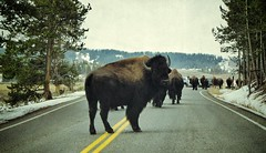 Keep yer distance (CNorthExplores) Tags: road park travel autumn vacation usa fall nature animals canon buffalo driving united bulls powershot national yellowstone states wyoming jam herd textured stance g11 thelook indignation snapseed keepyerdistance