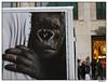 Nightmare Under den Linden (AurelioZen) Tags: berlin germany europe gorilla mitte underdenlinden lumixgvario14453556ois bokitosevilbrother