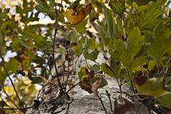 Looking up the tree (Avishai F) Tags: light tree contrast israel nikon d40