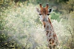 Giraffe (joyrex) Tags: trees green nature animal southafrica giraffe dier timbavati zuidafrika