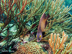 French Angelfish (dlyoung) Tags: fish fall wildlife scuba angelfish bonaire flowersplants frenchangelfish redberyl shoredive divetype