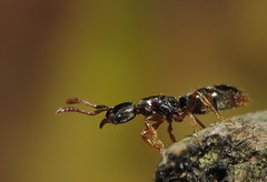 Ancient Ant Species (Queen) (Jersey Bug) Tags: macro bug insect ant queen queenant ponera