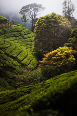 Munnar Tea Gardens (veropie) Tags: travel india green trekking canon tea kerala hills traveller adventure explore backpacking traveling chai hikes hillstation southindia munnar threerivers southasia teagardens teaplantations incredibleindia kannandevanhills idukkidistrict
