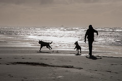 Running with the dogs... (~ Marjolein ~) Tags: dog man beach dogs netherlands nederland wijkaanzee