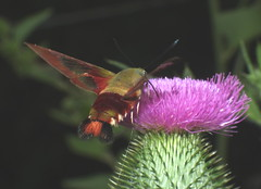 Clear Winged Moth Hawk Feeding on a Thistle Flower DSCF2198 (Ted_Roger_Karson) Tags: fujifilmxs1 moth mothhawk mothhummingbird clearwingmothhummingbird spinxmothhummingbird bee balm flower fujifilm xs1 hawk hand held camera sphinx hummingbird motion raynox dcr150 canon powershot sx280 hs slow high speed video northern illinois macrolife macro sx700 powershotsx700 thisisexcellent flowerhead flowers back yard friends twop hd eyes pollen animal outdoor insect pollinator plant depth field backyard animals the group ourplanet flying clear wing with proboscis tongue extended feeding scarlet thistleflower