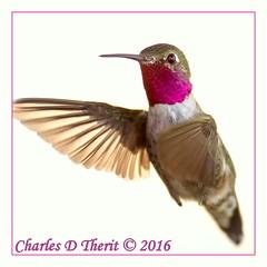 Broad-tailed Hummingbird (Male) (ctofcsco) Tags: 11600 1div 63 800mm bokeh canon colorado coloradosprings ef400mmf28liiusm ef400mmf28liiusm20x eos1d eos1dmarkiv explore explored extender extender2x extender2xii geo:lat=3893083779 geo:lon=10489145279 geotagged gleneyrie green hummingbird inflight male mark4 markiv nature northamerica supertelephoto teleconverter telephoto unitedstates usa wildlife bird animal broadtailed