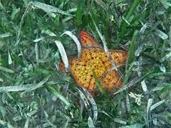Sea Star (alansurfin) Tags: bahama starfish sea grass florida underwater swimming keys snorkeling seagrass