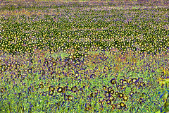 Sunflowers in Abstract (John Prause) Tags: nj sunflowers vernon yellow summer abstract sussexcounty wantage