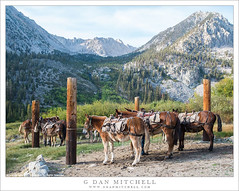 Back Country Taxi Service (G Dan Mitchell) Tags: california usa mountain station animals america taxi nevada north stock sierra pack service tied range mules corral onionvalley