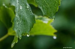a short summer rainfall (greg luengen) Tags: leaves bltter rain regen summer sommer holidays tourist grapes weintrauben nature natur green plants pflanzen sony sonyalpha nex