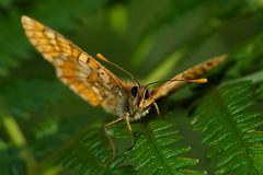 Curiosity (Euphydryas aurinia) (JoseDelgar) Tags: josedelgar euphydryasaurinia mariposa insecto coth fantasticnature alittlebeauty coth5 sunrays5 ngc contactgroups npc thegalaxy