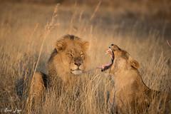 DT-92 (Photography by Brian Lauer) Tags: botswana africa safari safaris wildlife travel nikonphotography nikon lion elephant hippo fisheagle saddlebilledstork piedkingfisher lilacbreastedroller wilddog