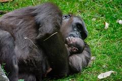 Anglų lietuvių žodynas. Žodis ape reiškia 1. beždžionė; 2. v perk.pamėgdžioti; 3) to go ape - įsiusti, įtūžti lietuviškai.