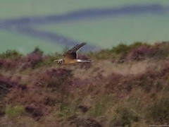 pallid harrier sighting peak district 9 sep 2016 3.30pm (Simon Dell Photography) Tags: hen harrier sighting 9 sept 2016 peak district moor longshaw supprise view suprise cliff edge derbyshire sheffield simon dell photography pallid sep 330pm rare very circus macrourus