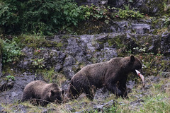 IMG_6499_1 (kalday) Tags: chichagofisland alaska pavlofriver brownbear grizzlybear kodiakbear