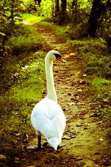 I'll Be Your Guide (nickycade) Tags: wildlife nature naturecollection naturelovers bird birds green path journey outdoors forest wood woodland england canon united kingdom swan white dream dreaming countryside
