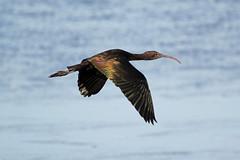 Glossy Ibis (NickWakeling) Tags: glossyibis wildlife waders birds norfolk nature rspb sigma150600mmf563dgoshsmcontemporary strumpshawfen canon60d