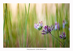 Prato primaverile (Felice Placenti) Tags: prato primavera meadow spring flowers grass erba fiori verde green sicilia monti iblei
